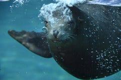 Overzeese ââlion die zijn mond opent onder water Stock Fotografie