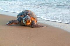 Overzeese †schildpad ‹â€ ‹op zand met zonsonderganglicht Stock Fotografie