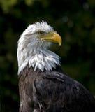Overzeese adelaar Stock Afbeeldingen