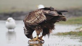 Overzeese adelaar die vissen eten stock video