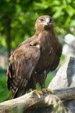 Overzeese adelaar op een tak Royalty-vrije Stock Afbeeldingen