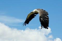 Overzeese adelaar tijdens de vlucht royalty-vrije stock foto's