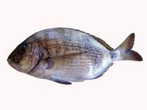 Overzeese brasemvissen Stock Afbeeldingen