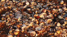 Overzeese details, shells Royalty-vrije Stock Foto