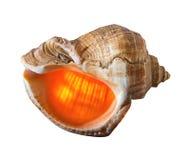 Overzeese die shell met backlit wordt geïsoleerd stock foto's