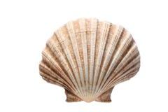 Overzeese die shell op witte achtergrond met exemplaarruimte wordt geïsoleerd voor uw tekst stock fotografie