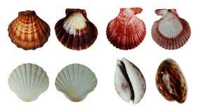 Overzeese die shells inzameling op witte achtergrond wordt ge?soleerd royalty-vrije stock foto's