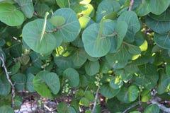 Overzeese Druiven stock foto