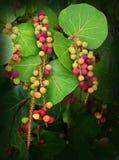 Overzeese Druiven die in Clusters hangen Royalty-vrije Stock Afbeelding