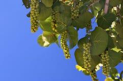 Overzeese Druiven tegen een blauwe hemel Stock Afbeeldingen