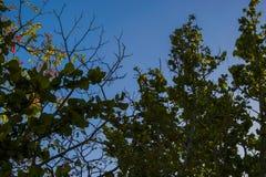 Overzeese Druivenbomen Royalty-vrije Stock Fotografie