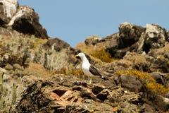 Overzeese duif op rotsen Stock Fotografie