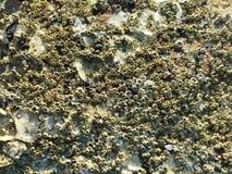 Overzeese eendenmossel op de rotsen door het overzees voor de achtergrond royalty-vrije stock afbeelding