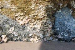 Overzeese eendenmossel op een steen bij het strand stock foto