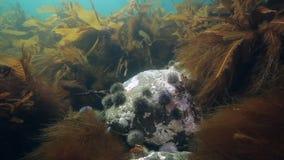 Overzeese Egels onderwater op zeebedding in de Barentsz Zee in Rusland stock video