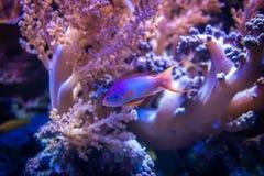 Overzeese goldie vissen die op roze koraalrifachtergrond zwemmen royalty-vrije stock fotografie