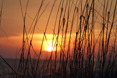 Overzeese haver in de zonsondergang Stock Fotografie