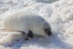 Overzeese kalfsbaby het ontspannen op ijs Royalty-vrije Stock Afbeeldingen