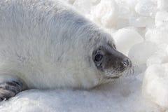 Overzeese kalfsbaby het ontspannen op ijs Royalty-vrije Stock Afbeelding