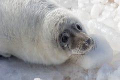 Overzeese kalfsbaby het ontspannen op ijs Stock Afbeeldingen