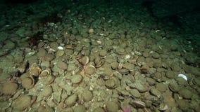 Overzeese kammossel en krab onderwater op zeebedding van Kamchatka stock footage