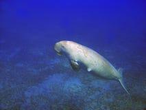 Overzeese koe (Dugong dugong) Royalty-vrije Stock Afbeeldingen