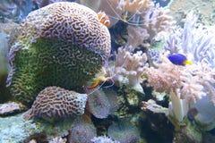 Overzeese koralen Stock Afbeeldingen