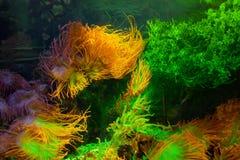 Overzeese koralen en algen in het verlichte aquarium royalty-vrije stock afbeelding