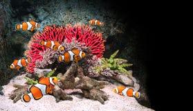 Overzeese koralen en clownvissen royalty-vrije stock foto's