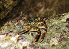 Overzeese krab op de bodem stock foto's