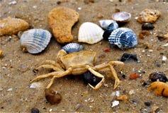 Overzeese krab op het zand royalty-vrije stock foto's