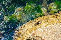 Overzeese krabzitting op gele die rotssteen door Egeïsch zeewatershoogtepunt wordt omringd van het trillende onderwater mariene l stock afbeeldingen