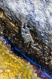 Overzeese krabzitting op gele die rotssteen door Egeïsch zeewatershoogtepunt wordt omringd van het trillende onderwater mariene l royalty-vrije stock afbeelding