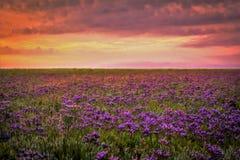 Overzeese lavendel Stock Foto