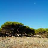 Overzeese lelies, pijnbomen en blauwe hemel op zonlicht Stock Afbeelding