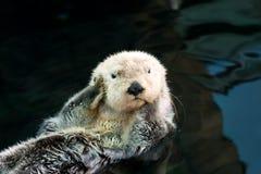 Overzeese otter Stock Foto
