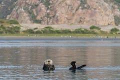 Overzeese otter die de mening in Morro-Baai, Californië controleren stock afbeelding