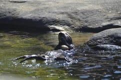 Overzeese otter die tweekleppige schelpdieren eten Stock Afbeeldingen