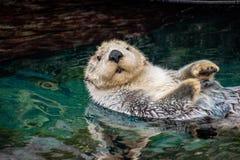 Overzeese otter, Lissabon, Portugal Maart 2019 royalty-vrije stock fotografie
