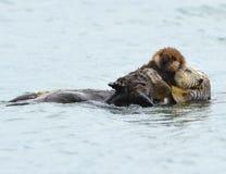 Overzeese ottermoeder met aanbiddelijke baby/zuigeling in de kelp, grote su Royalty-vrije Stock Foto