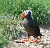 Overzeese papegaai op Bering eiland Royalty-vrije Stock Afbeeldingen
