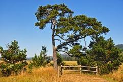 Overzeese Pijnboom Stock Foto's
