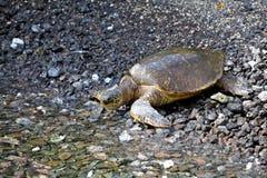 Overzeese schildpad Royalty-vrije Stock Afbeeldingen