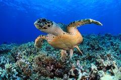 Overzeese Schildpad stock afbeelding