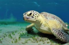 Overzeese schildpad Stock Foto