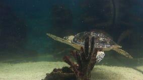 Overzeese schildpad stock videobeelden