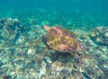 Overzeese schildpad in blauw water De groene zeeschildpad sluit foto Royalty-vrije Stock Afbeelding