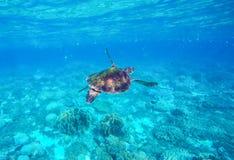 Overzeese schildpad in blauw water De groene zeeschildpad sluit foto Royalty-vrije Stock Foto's