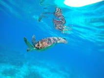 Overzeese schildpad in blauw water Groene schildpad in wilde aard Overzeese schildpad die aan overzeese bodem duiken Royalty-vrije Stock Foto