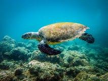 Overzeese schildpad Close-upfoto op de ertsaders van maldivian kust wordt genomen die royalty-vrije stock foto's